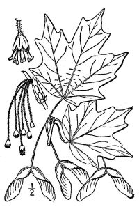 illustration of white maple leaves, seeds, and fruit