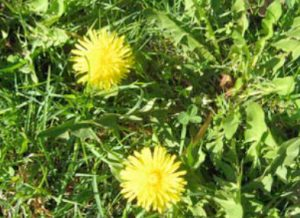 Dandelions with opened flowers