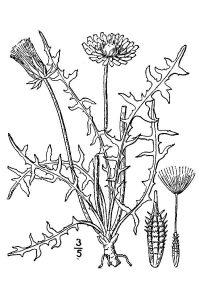 illustration showing parts of a dandelion