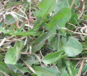 New dandelion leaf growth