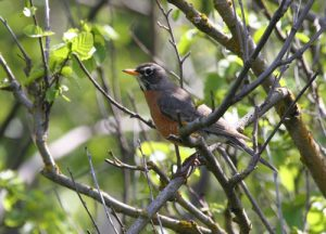 Adult female robin