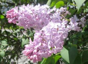 Lilac flower clusters at about 80% opened