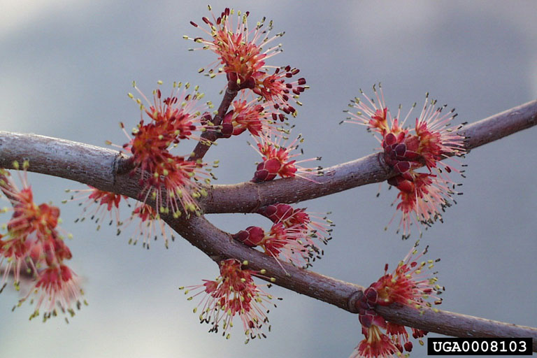 Red Maple Acer Rubrum Fact Sheet Signs Of The Seasons A New
