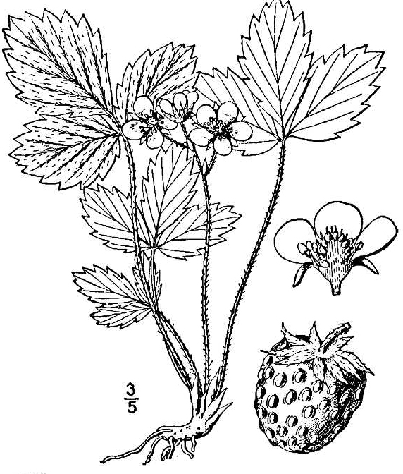 Wild Strawberry Fact Sheet