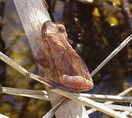 Adult Spring Peeper Image source: J.D. Willson, Savannah River Ecology Lab, http://srel.uga.edu/