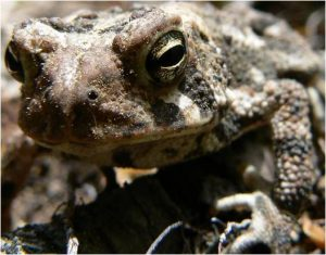 Adult American Toad Image source: A. Shearin, Maine Department of Inland Fisheries and Wildlife