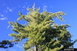 Bugwood_WhitePine_StevenKatovich_USDA Forest Service
