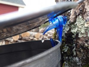 Sap drips into a collection bucket.