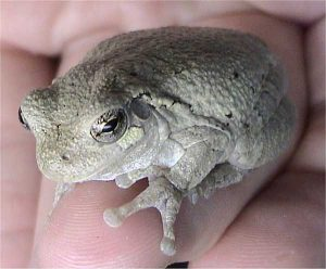 Gray treefrog perched on a persons finger.