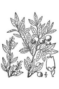 Drawing of blueberry leaves and fruits.