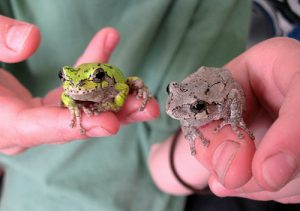 Two gray treefrogs being held by a person.
