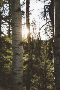 A birch tree in the woods with the sun shining behind.