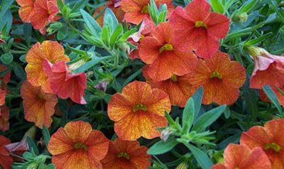 Calibrachoa flower blooms