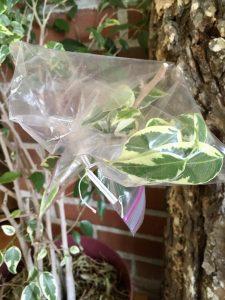 transpiration bag on plant