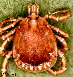 Amblyomma americanum, adult male