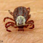 American Dog Tick - Female