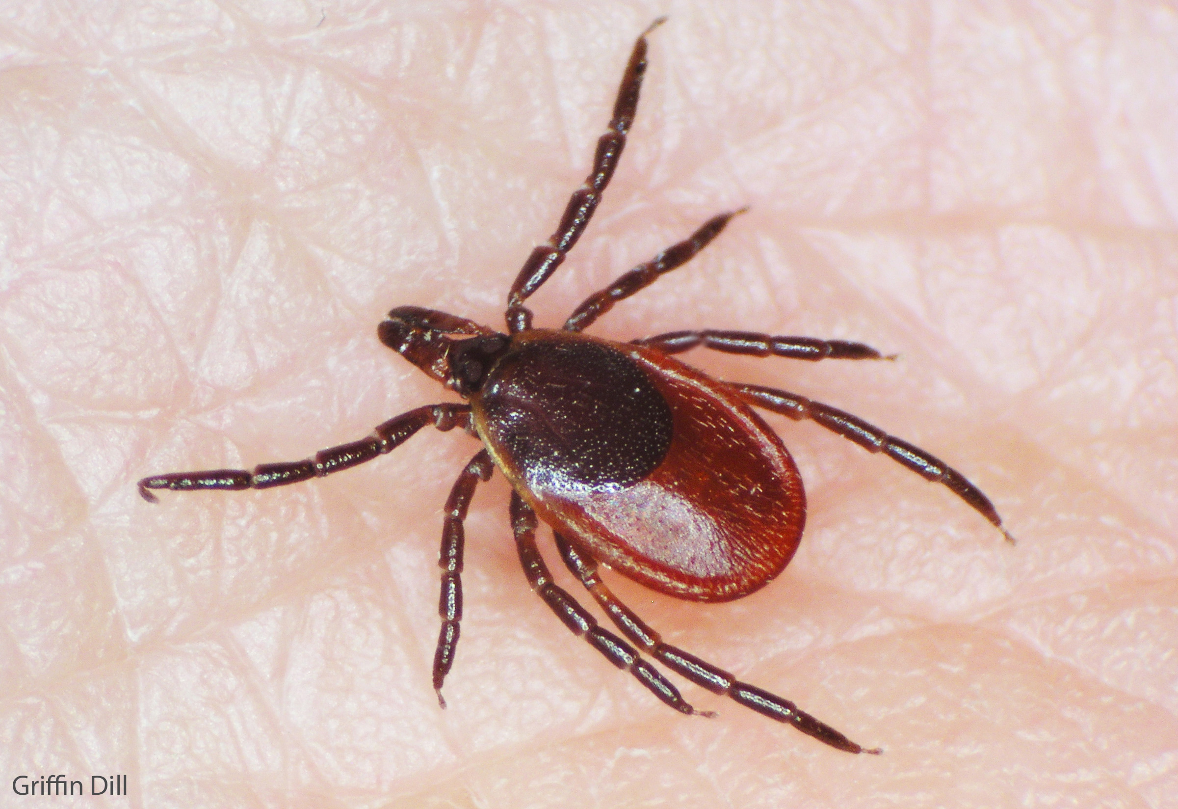 pictures of ticks - HD 2401×1648
