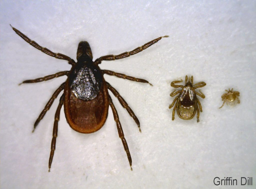 L to R: Deer Tick Adult, Nymph, Larva