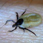 Deer Tick - Engorged Female