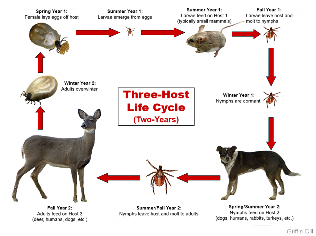 Diagram showing 3-host life cycle (2 years). Spring year 1: female lays eggs off host. Summer year 1: larvae emerge from eggs. Summer year 1: larvae feed on host 1 (typically small mammals). Fall year 1: larvae leave host and molt to nymphs. Winter year 1: nymphs are dormant. Spring/summer year 2: nymphs feed on Host 2 (dogs, humans, rabbits, turkeys, etc.). Summer/fall year 2: nymphs leave hosts and molt to adults. Fall year 2: Adults feed on Host 3 (deer, humans, dogs, etc.). Winter year 2: adults overwinter.