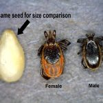 Deer tick female (center) male (right) and sesame seed (left)