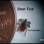 Deer Tick next to US penny