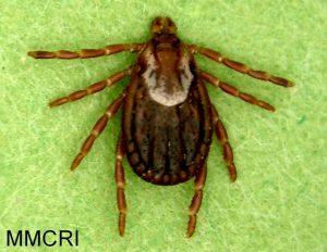 Dermacentor variabilis, adult female