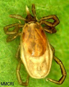 Ixodes muris, adult female