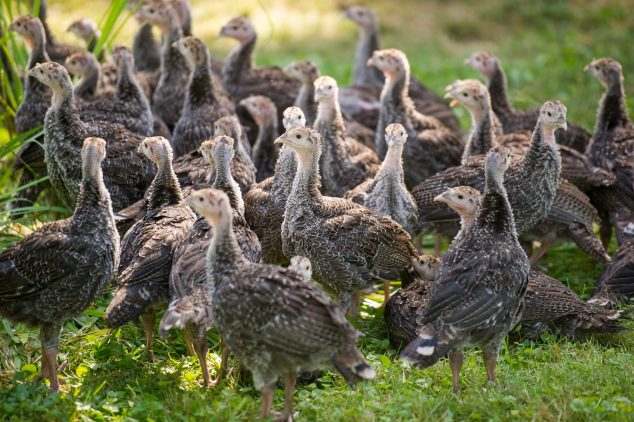Poult Turkey Flock