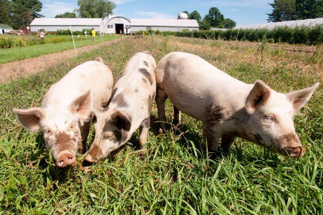 Three pigs in field