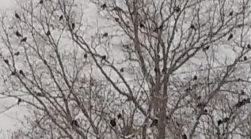 Crows in Tree Bangor Maine