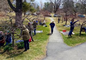a group of master gardeners pruning the flowering crabapple allée at Belfast City Park