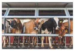 milking cows