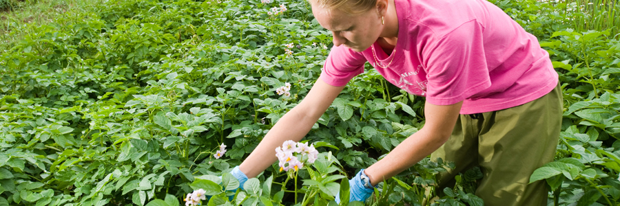 UMaine Cooperative Extension: Insect Pests, Ticks and Plant Diseases