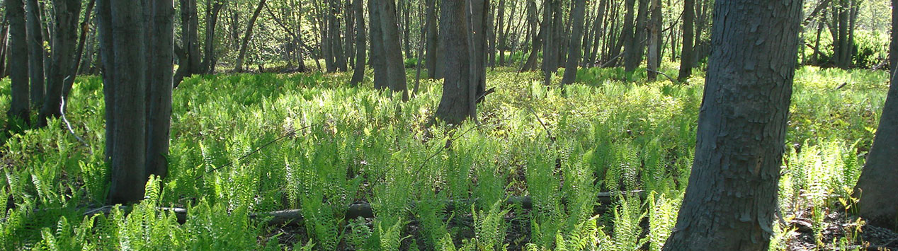 patch of fiddleheads in woods