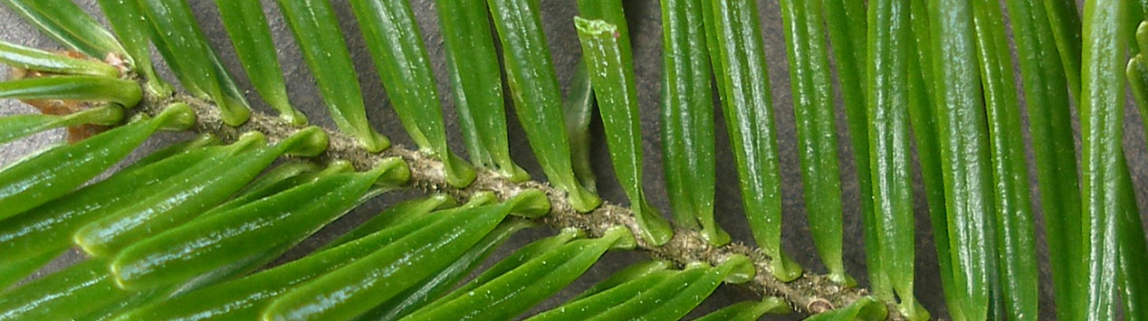 close-up of balsam fir needles