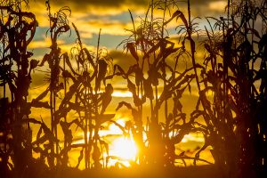 corn field at sunrise