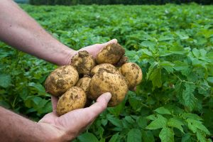 handful of freshly dug potatoes