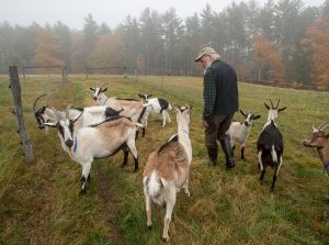 goat producer walks to the pasture with herd of goats