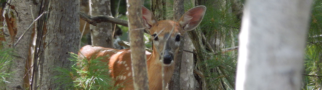 white tailed deer fawn peers out of forest