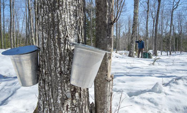 man checking on buckets, gathering sap from maple trees in winter