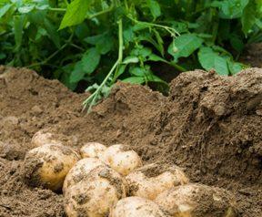 freshly dug potatoes in the field